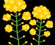 菜の花 春