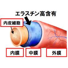 エラスチン 静脈瘤